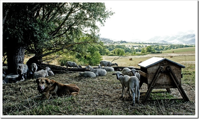 ovelles descansant