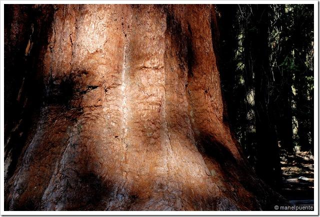 textura sequoia