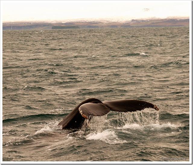 Balenes a la costa d'Húsavík