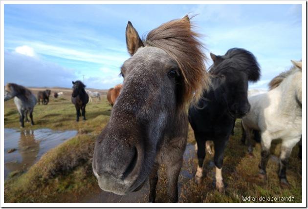cavalls islandesos