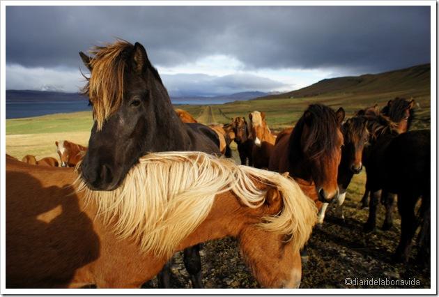 grup de cavalls islanedesos