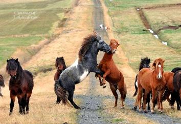 islandia cavalls grup ok