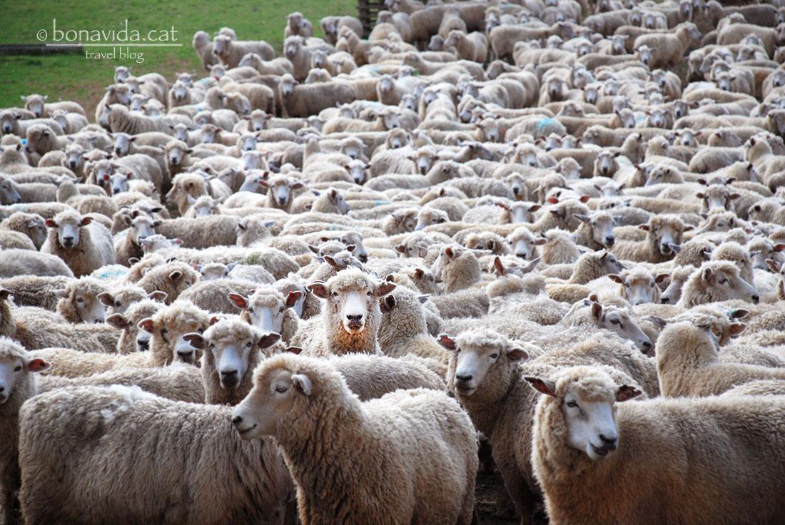 Las ovejas son las reinas de Nueva Zelanda. Estan por todas partes!!