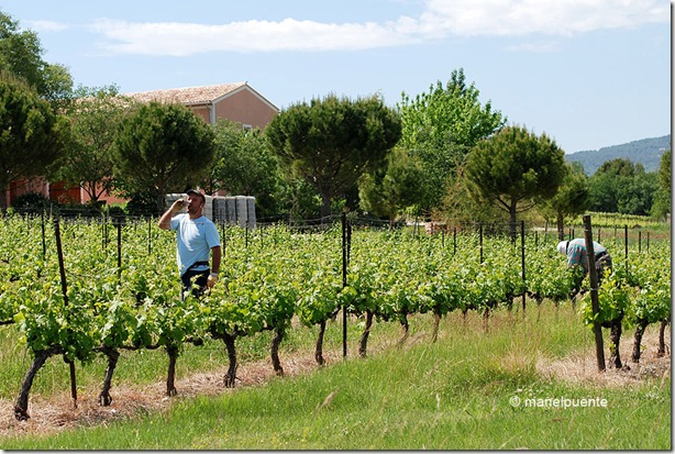Vinyes camí de Roussillon a Gordes. La Provence, França