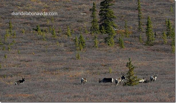 05_alaska_cariboos
