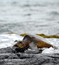 Tortugas en Punalu'u Black Sand Beach. Big Island