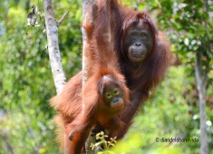 Los orangutanes de Borneo son increibles